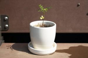 謎の植物 水揚げ後鉢植え