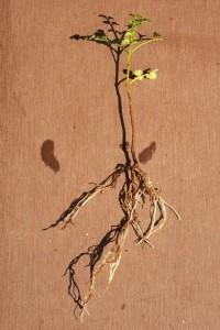 鉢植え植物を盆栽用に植え替える