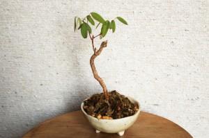 初心者が盆栽を始めました